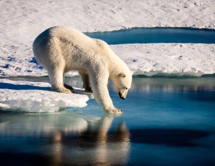 Majestic polar bear looking into mirror