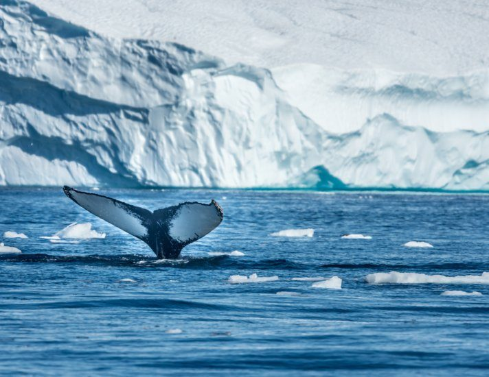Humpback whales feeding among giant icebergs, Ilulissat, Greenland