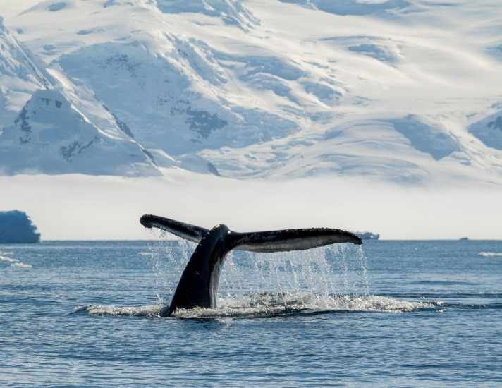 Humpback whale, Antarctica
