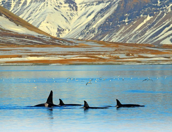 Group of killer whale near the Iceland mountain coast during winter. Orcinus orca in the water habitat, wildlife scene from nature. Whales in beautiful landscape, snow on the hills.